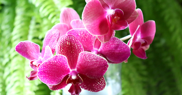 phalaenopsisaphrodite.jpg