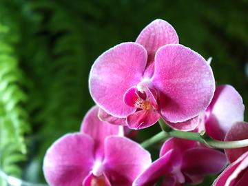 phalaenopsisaphrodite2.jpg