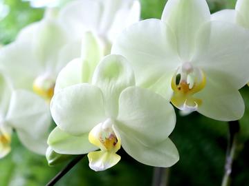phalaenopsisaphrodite3.jpg