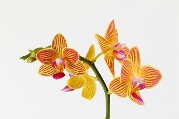 phalaenopsisaphrodite4.jpg