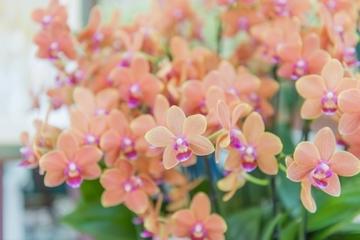 phalaenopsisaphrodite5.jpg
