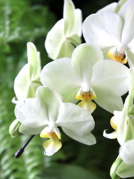 phalaenopsisaphrodite6.jpg