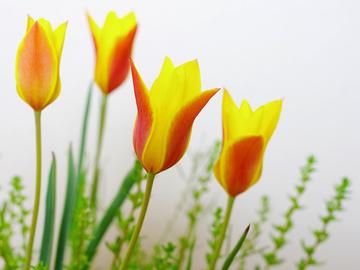 tulipa2.jpeg